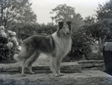 Carr Payne family collie dog, 1939 May 18