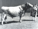 Grand Champion Guernsey Bull at the Tennessee State Fair, Nashville, Tennessee, 1971 September