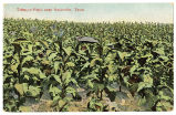 Tobacco field near Nashville, Tenn., between 1901 and 1907